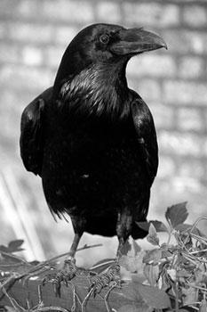 http://www.daniel.prado.name/imagenes/articulos/Viajes/Londres/raven-cuervo-torre-londres-london-tower.jpg